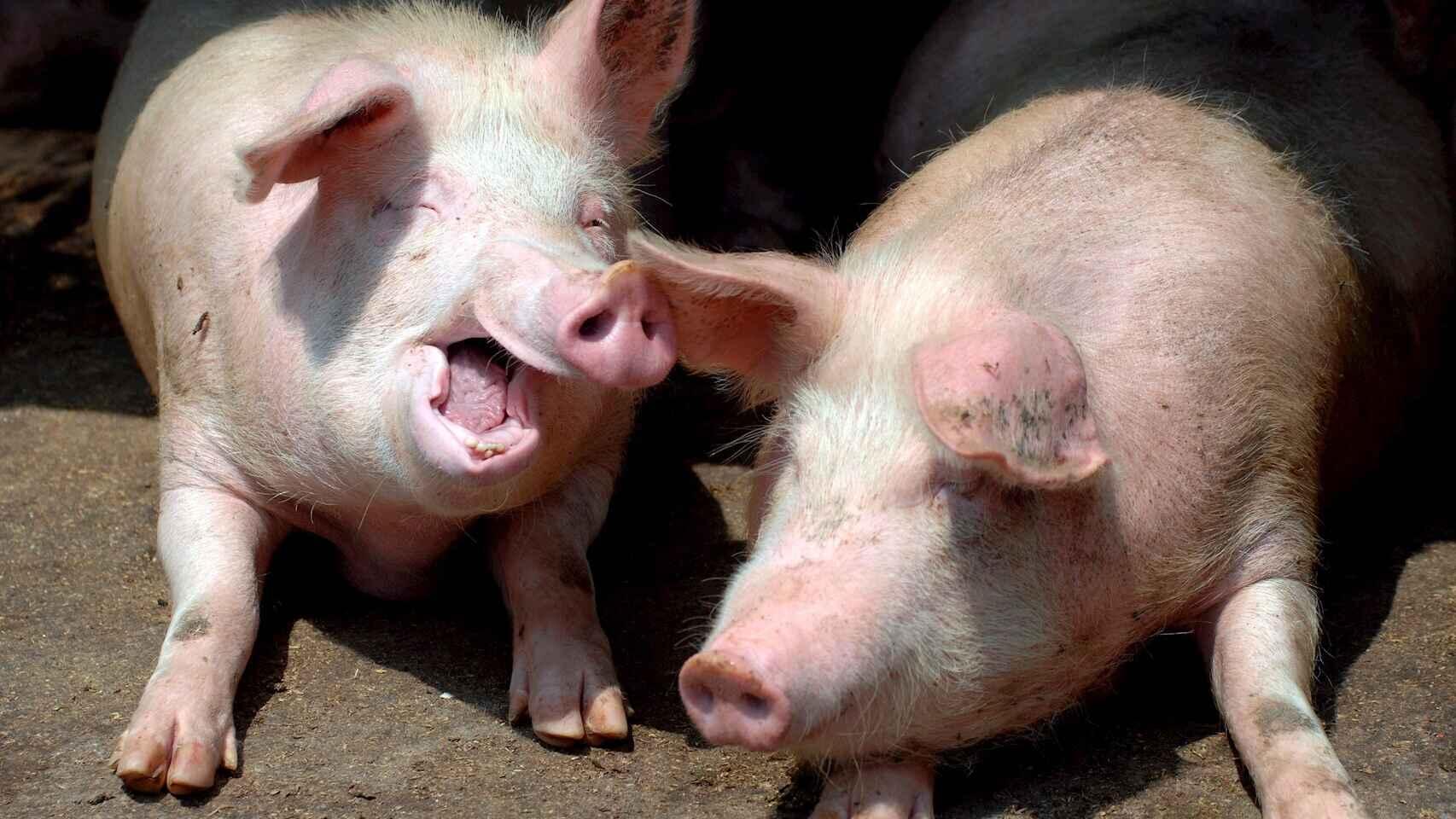 Alerta sin alarma: que hacer frente al nuevo virus porcino con 'potencial pandemico'