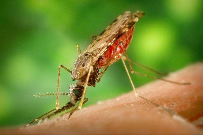 Se detecta resistencia a la artemisina en África