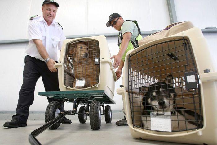 """""""Es un riesgo que las mascotas viajen en avion""""; recomendaciones de los expertos"""