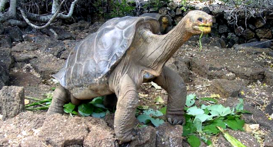 Reaparece tortuga gigante que se creia extinta desde hace 100 años, en Islas Galapagos